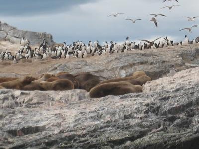 Cormorones e leões-marinhos nas ilhas do Canal de Beagle