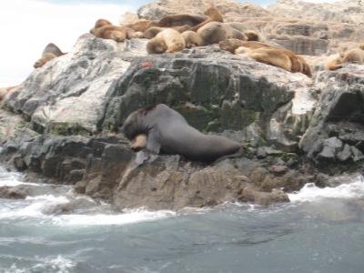 Mais leões-marinhos