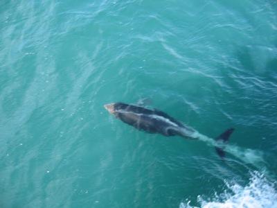 Golfinhos no Estreito de Magalhães