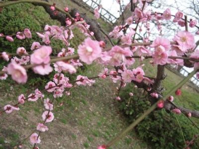 As belas flores de sakura, símbolo nacional