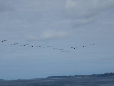 Grupo de pelicanos sobrevoando o canal