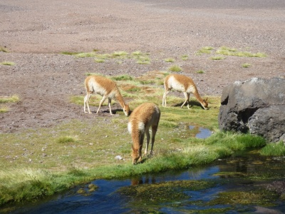 Não é difícil encontrar vicuñas por lá